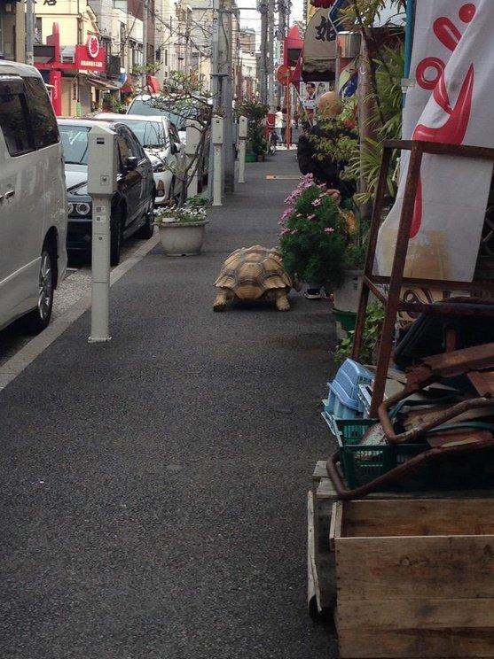Bichinho de estimação fiel: japonês passeia ao lado de tartaruga gigante