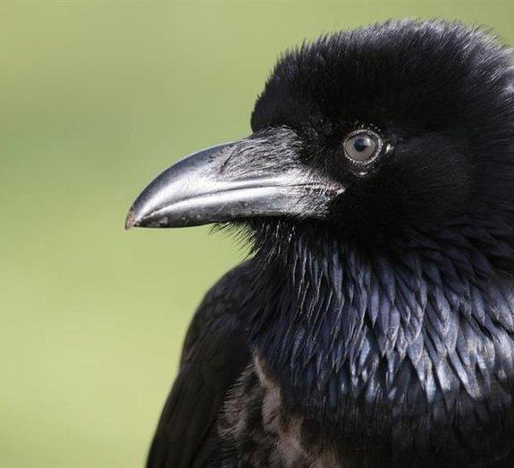 10 fatos sobre os corvos que vão deixar você fascinado