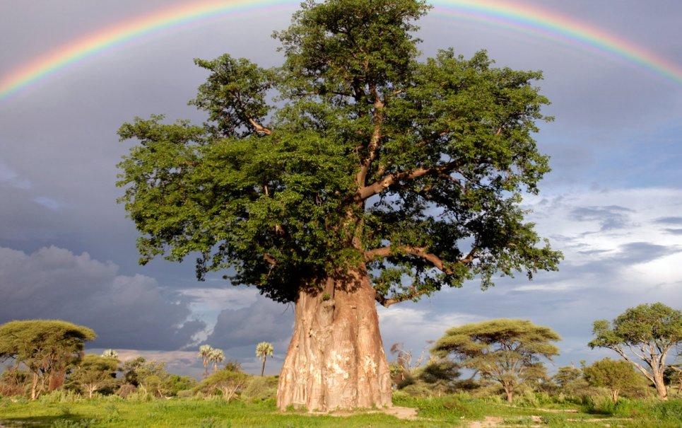 Baobá: por que essas árvores africanas têm troncos tão largos?