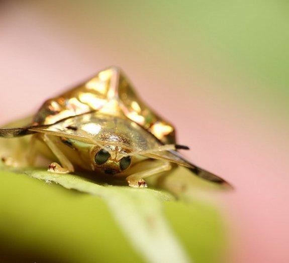 Besouro de ouro: confira um dos insetos mais belos do mundo