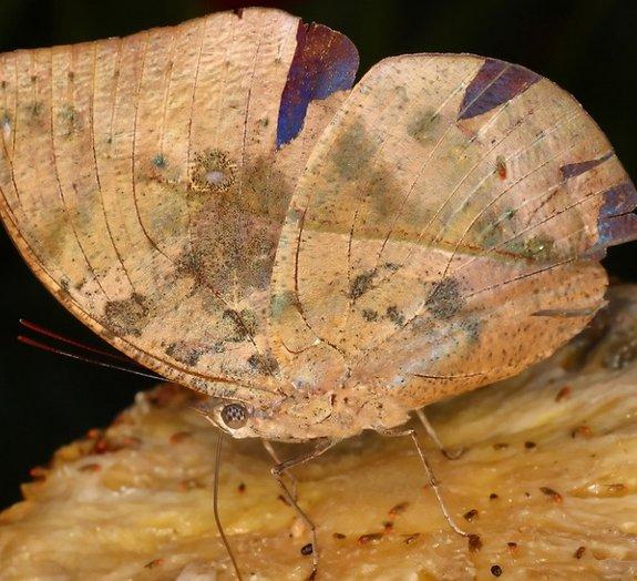 5 borboletas que são mestres da camuflagem