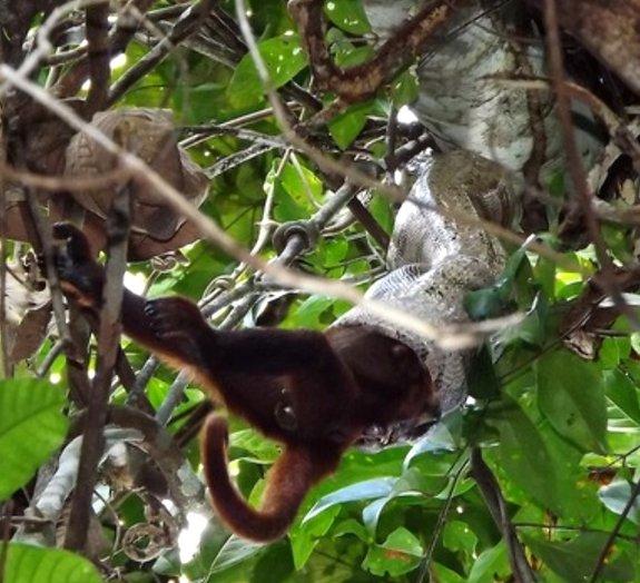 Cientistas brasileiros registram macaco sendo engolido por jiboia [vídeo]