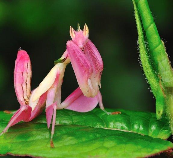 Traje elaborado: confira o inseto que passeia por aí camuflado de orquídea