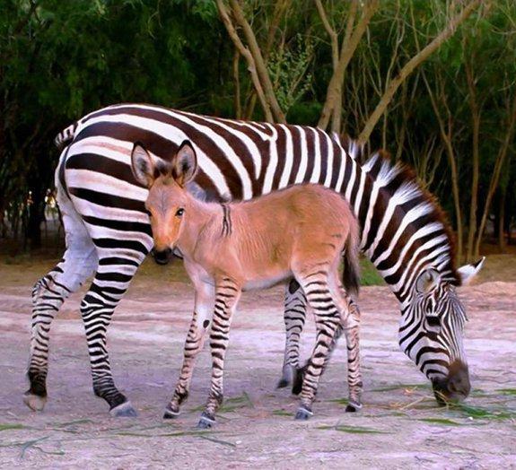 Filhote de zebra com burro nasce em zoológico [vídeo]