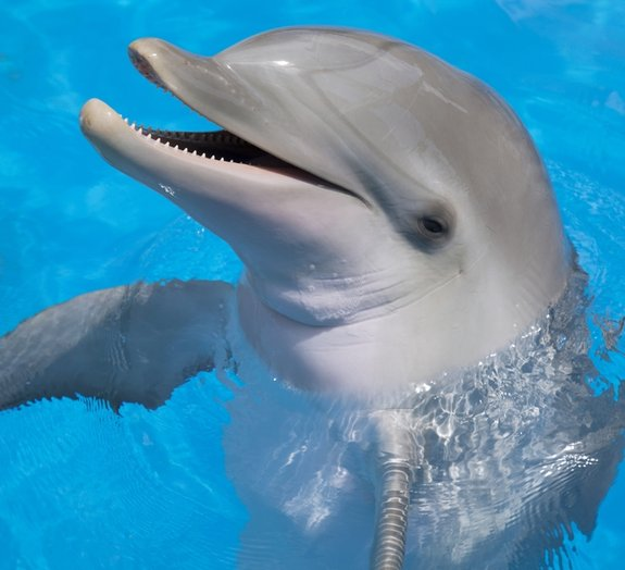 Como é que os golfinhos não se afogam quando dormem?