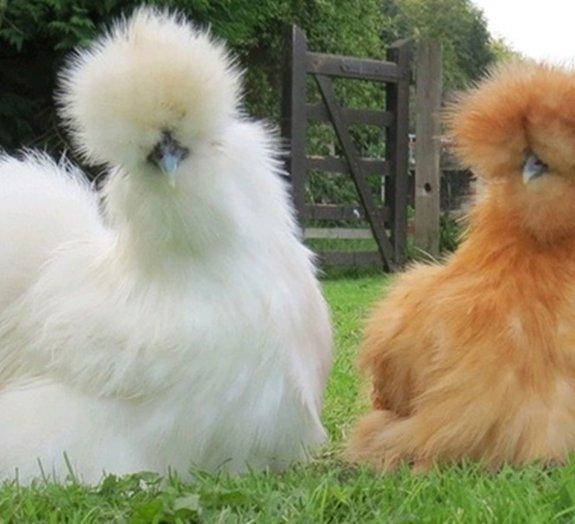 Silkie, a raça de galinhas mais fofa do mundo