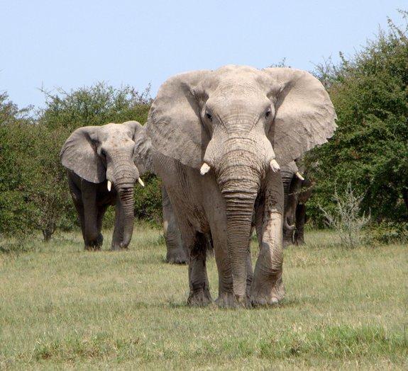 Estudo revela que elefantes têm olfato mais poderoso do reino animal