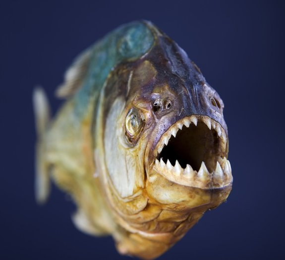 Conheça algumas curiosidades sobre as piranhas (os peixes)