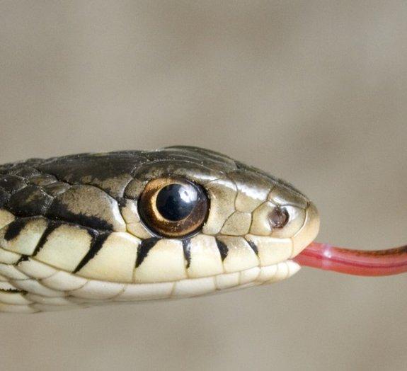 Você sabe por que as cobras mostram a língua?