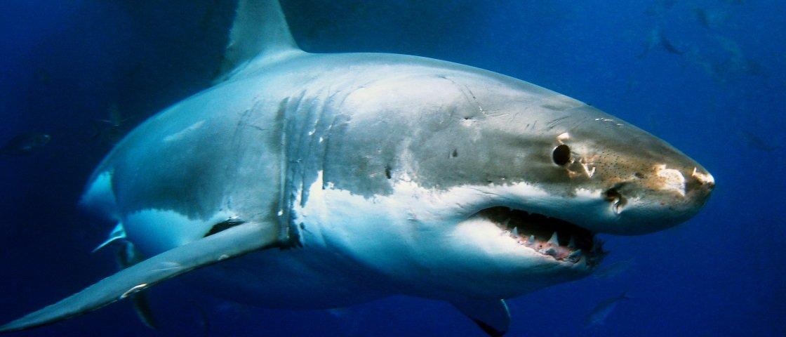 Veja os ataques de grandes tubarões-brancos em câmera de pesquisa [vídeo]