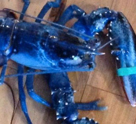 Bela e rara lagosta azul é encontrada nos Estados Unidos