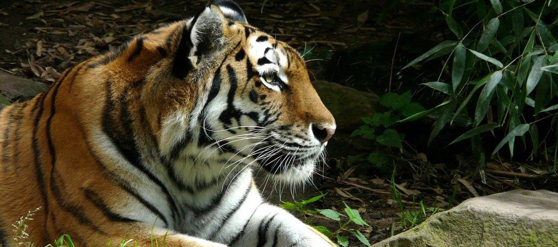 Você sabia que existe um vinho ilegal na China feito com ossos de tigre?