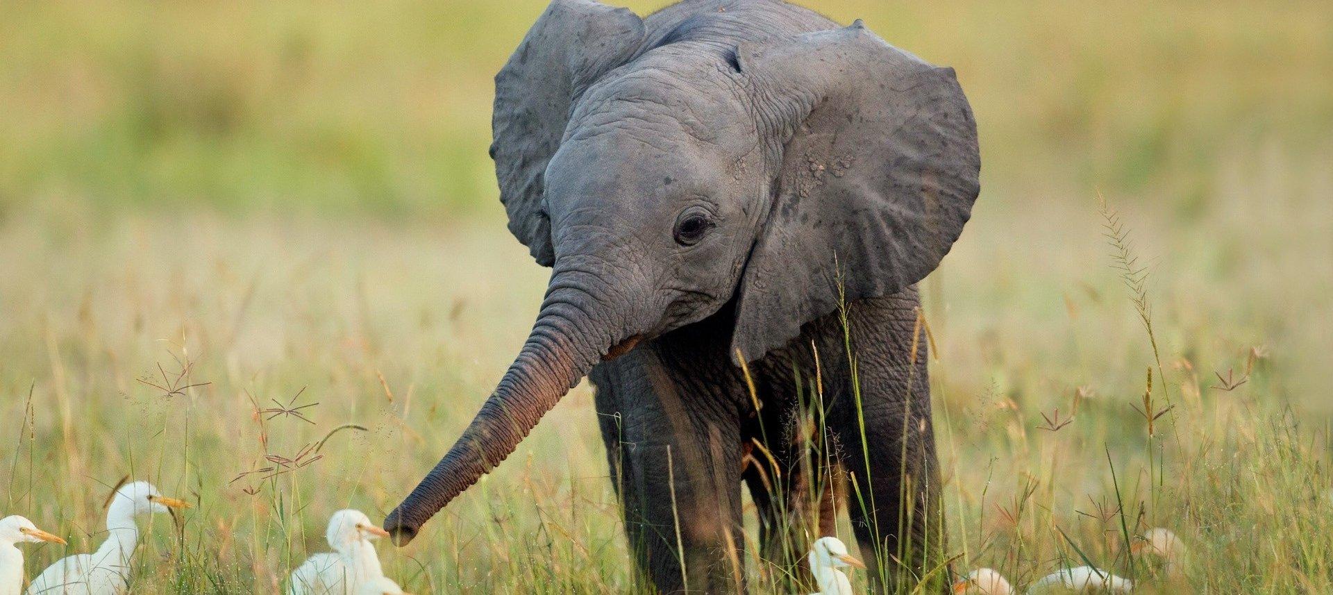 20 fatos interessantes que você talvez desconheça sobre os elefantes