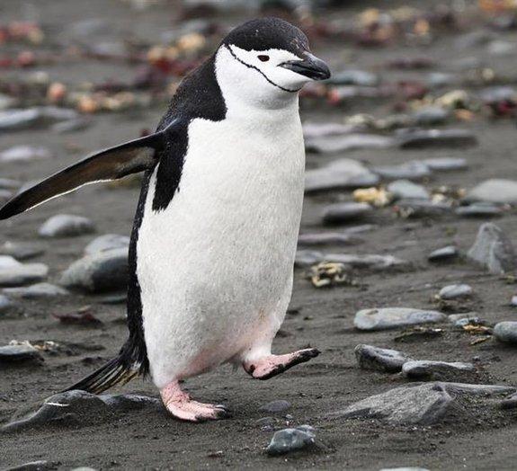 Afinal, os pinguins têm joelhos?
