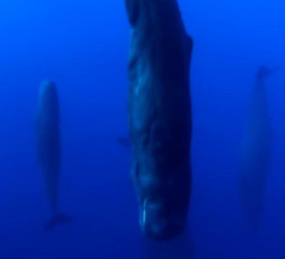 Você já viu baleias cachalotes dormindo? [vídeo]