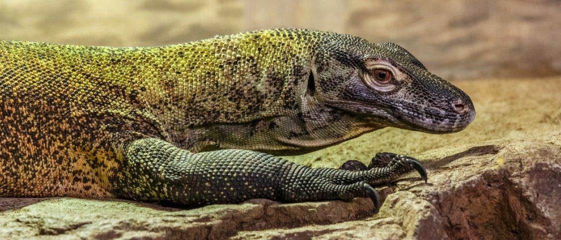 Aprenda tudo sobre dragões-de-Komodo com estas 15 curiosidades sobre eles