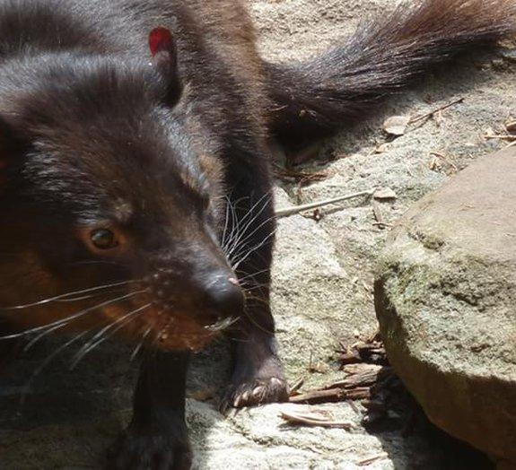 Diabo da Tasmânia: conheça 6 curiosidades sobre o animal