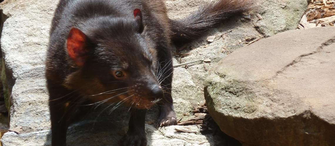 6 curiosidades sobre os diabos-da-tasmânia