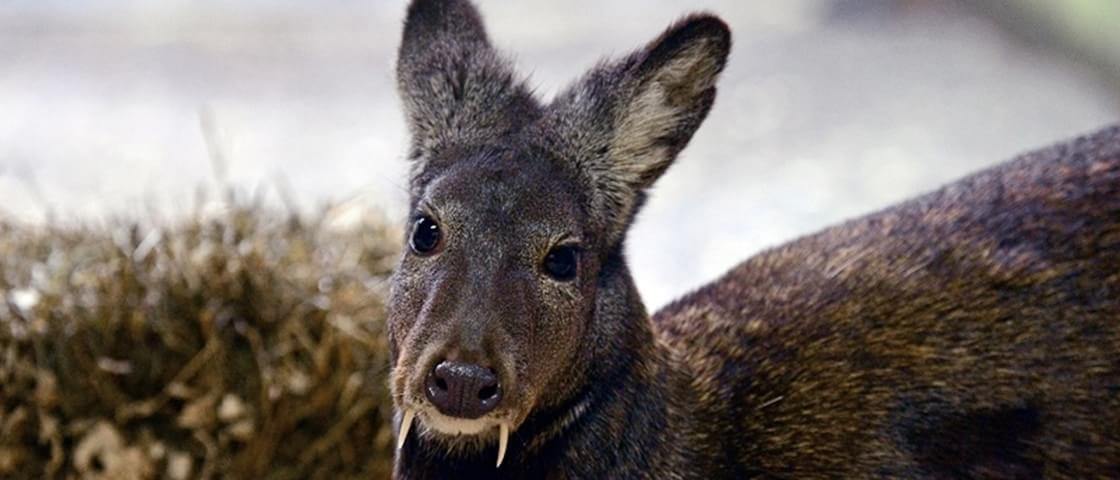 """Após décadas, cervo com """"presas de vampiro"""" é visto pela primeira vez"""