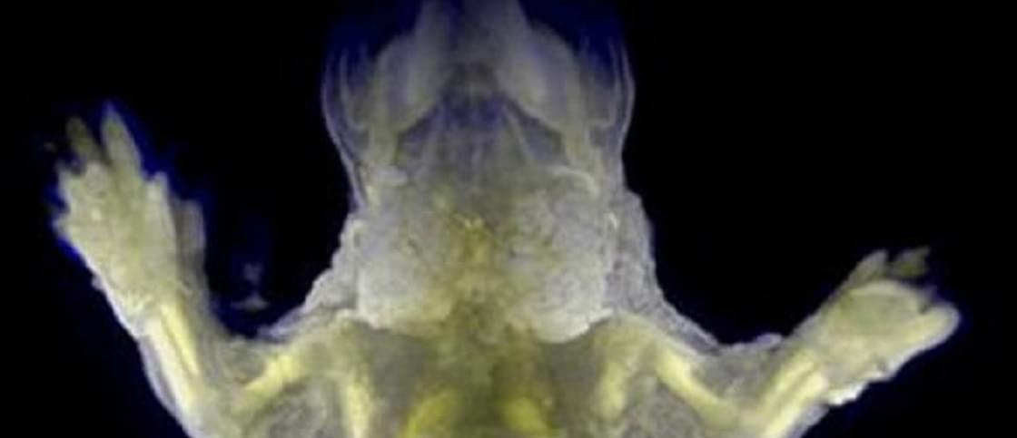 Cientistas japoneses criam ratinhos quase transparentes