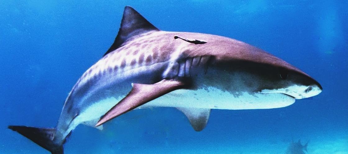 Australiano é desafiado em alto-mar e salta para cima de um tubarão-tigre