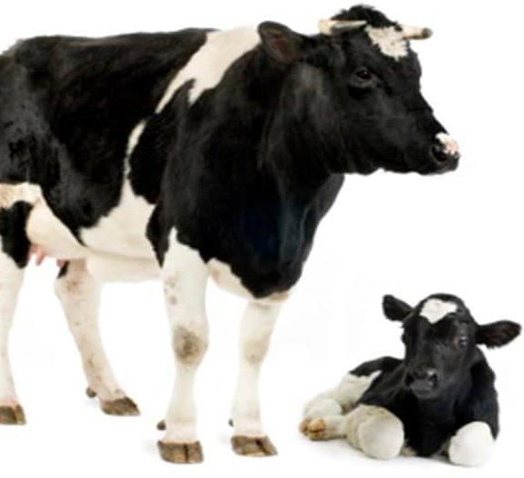 Vacas que produzem anticorpos humanos podem ajudar a combater o hantavírus