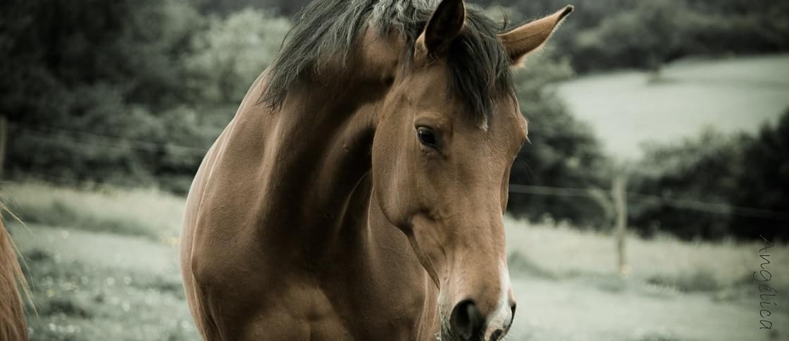 Cavalo evoluiu geneticamente em função de seu uso pelos humanos