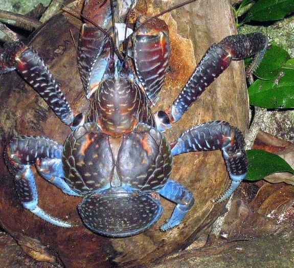 Conheça o caranguejo-do-coco: mais uma criatura estranha do reino animal