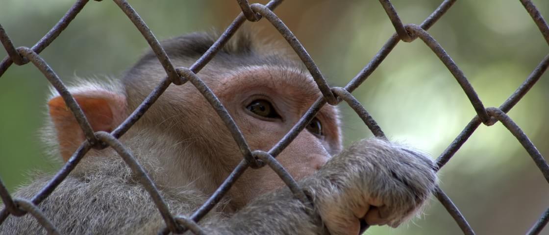 Macacos aprendem a se reconhecer em espelhos, mostra estudo
