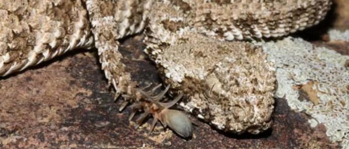 Cobra atrai suas presas com cauda que parece uma aranha [vídeo]