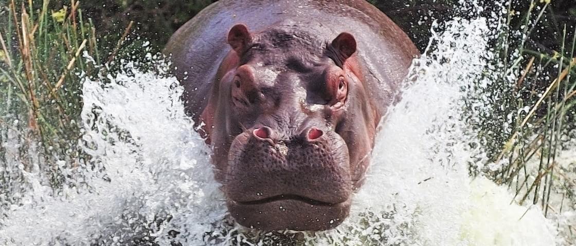 Fuja se puder: hipopótamo gigantesco e rápido persegue barco [vídeo]