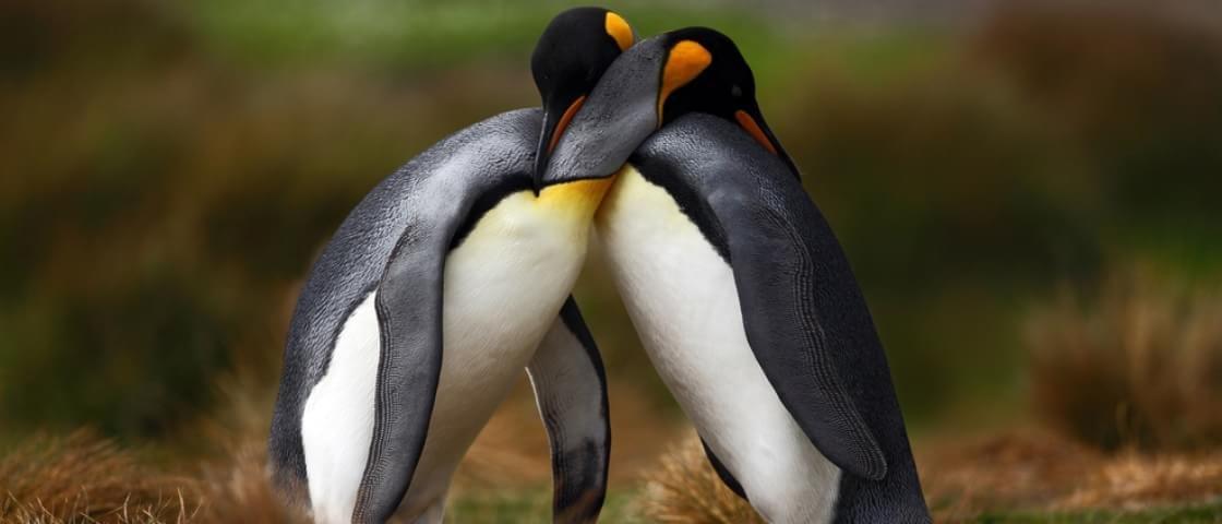 Sexo animal: descubra como é que os pinguins se reproduzem