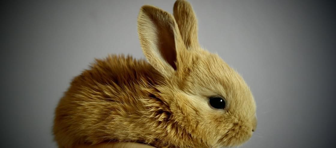 Sabia que a carne de coelho pode matar as pessoas de fome?
