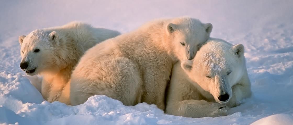 Entenda como o aquecimento global pode afetar o pênis de ursos polares