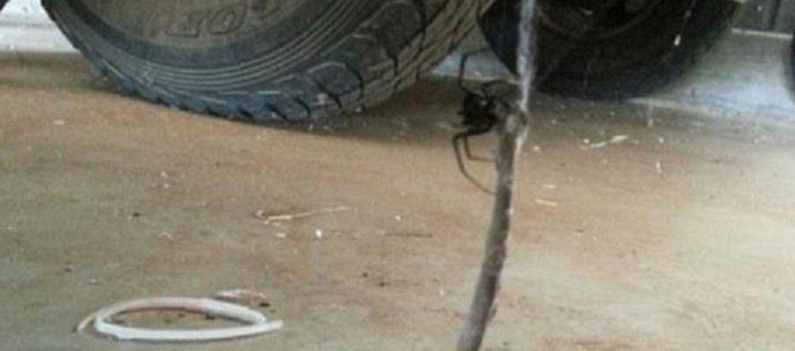 Faça sua aposta: aranha x cobra — quem você acha que venceria essa briga?