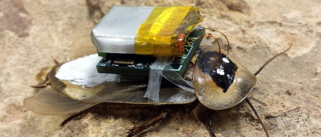 Barata-ciborgue guiada por controle remoto é criada por cientistas
