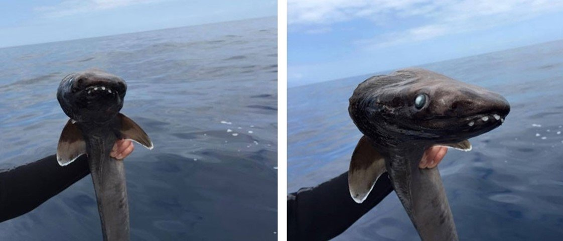 Exemplar de espécie do tubarão mais antigo do mundo é pego na Espanha