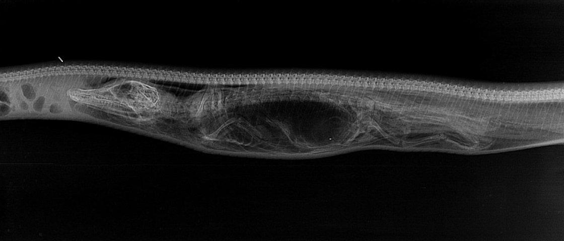 Biólogos fazem raio-x de píton logo após a cobra ter engolido um jacaré