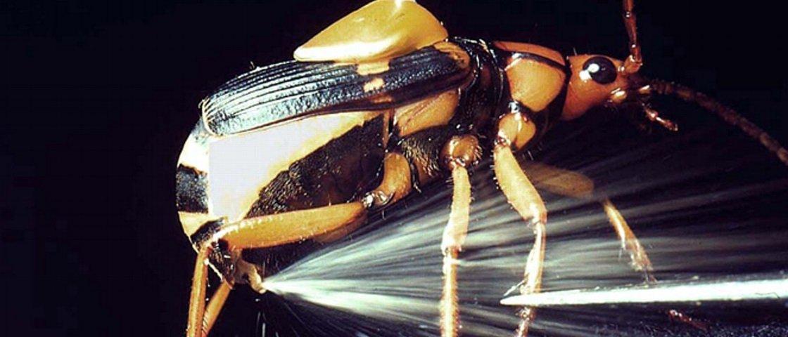 Conheça o besouro nervoso que dispara jatos superquentes pelo traseiro