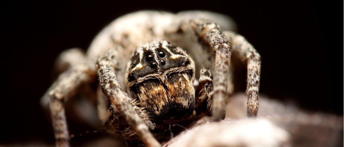 Veja a aranha que dissolve os próprios órgãos para que sua prole sobreviva