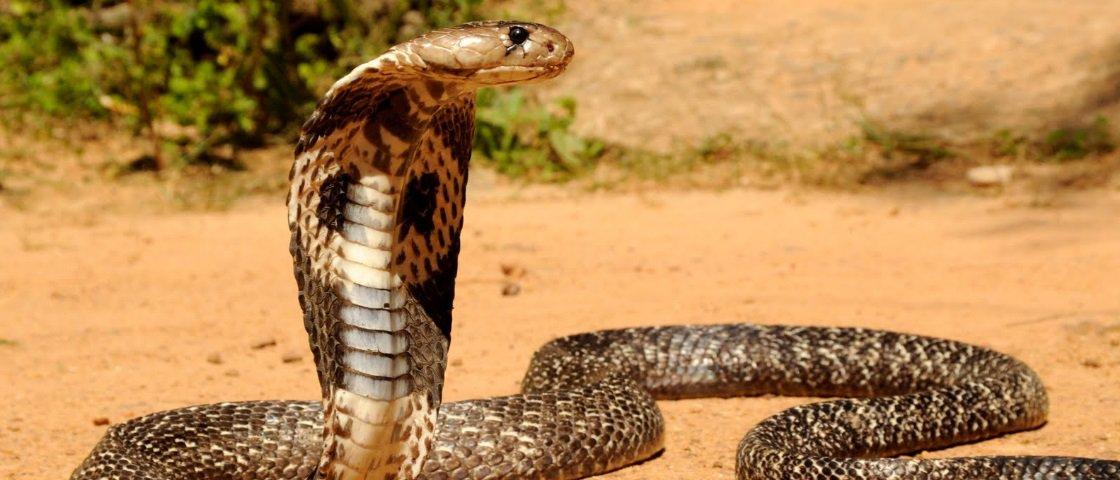 5 das cobras mais venenosas que existem no planeta