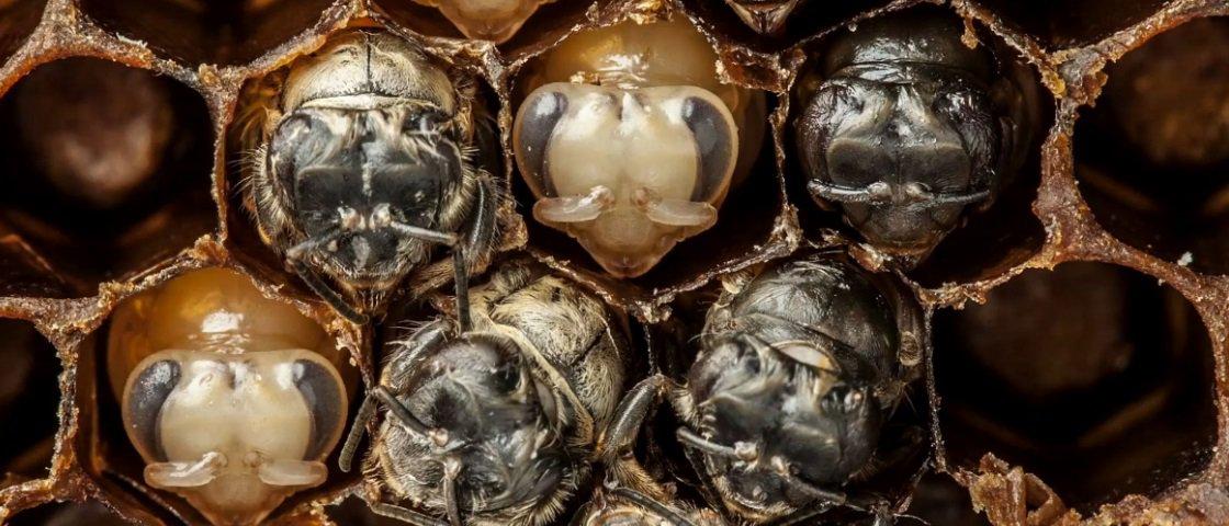 Assista ao fascinante processo de desenvolvimento das abelhas [vídeo]