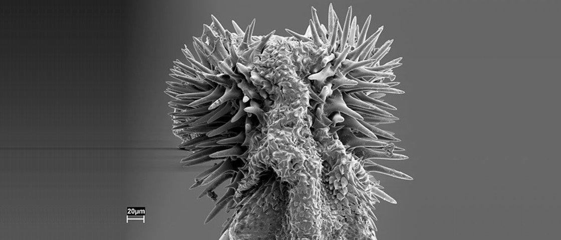 Espinhos no pênis de insetos podem ser motivo de afastamento entre espécies