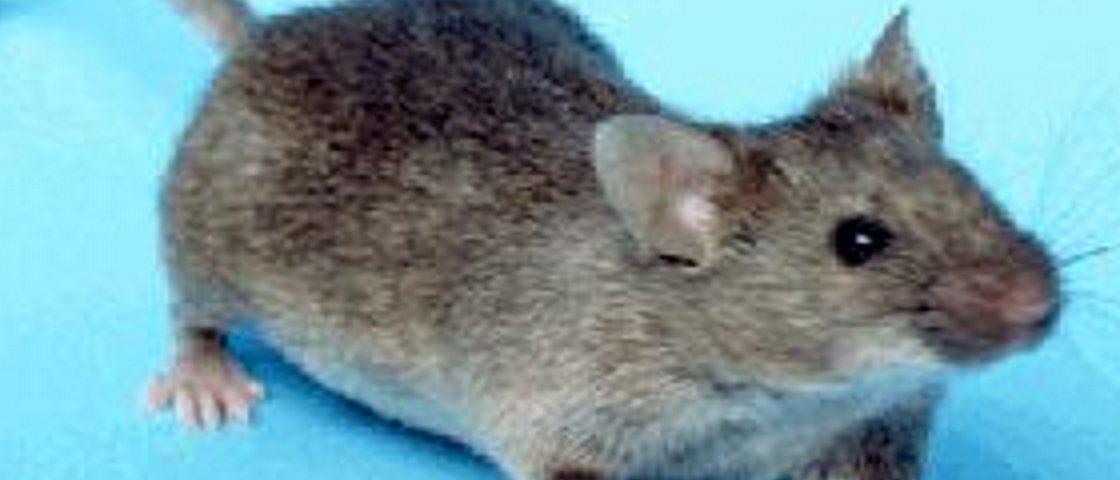 Cientistas reativam memória perdida de camundongos usando a luz