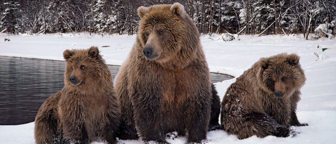 Você sabe como acontece o curioso ciclo de reprodução dos ursos cinzentos?
