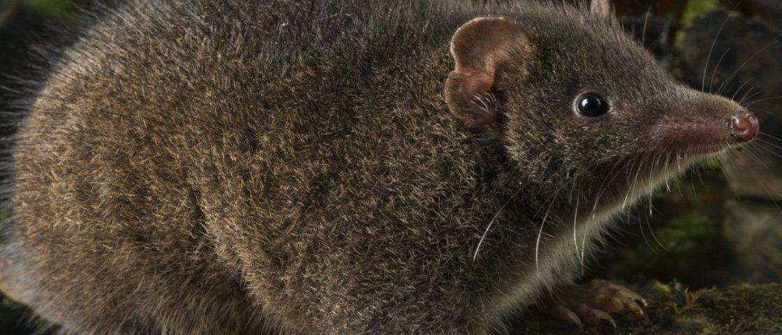 Duas novas espécies de marsupiais que transam até morrer são descobertas