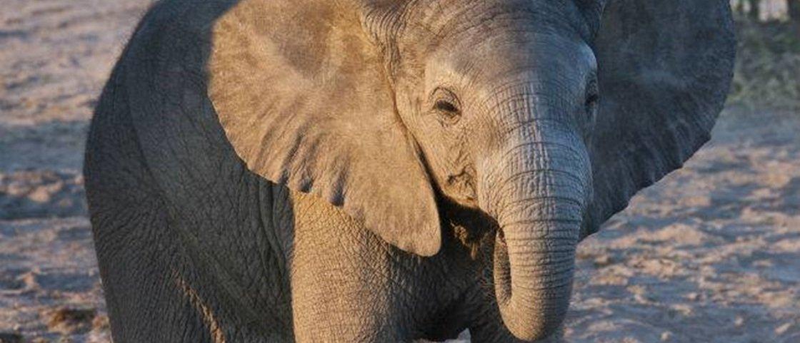 Que bonitinho! Saiba por que elefantinhos gostam de chupar a tromba