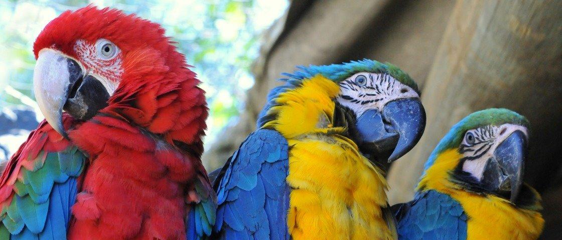 Como araras, papagaios e outros pássaros conseguem imitar vozes e sons?