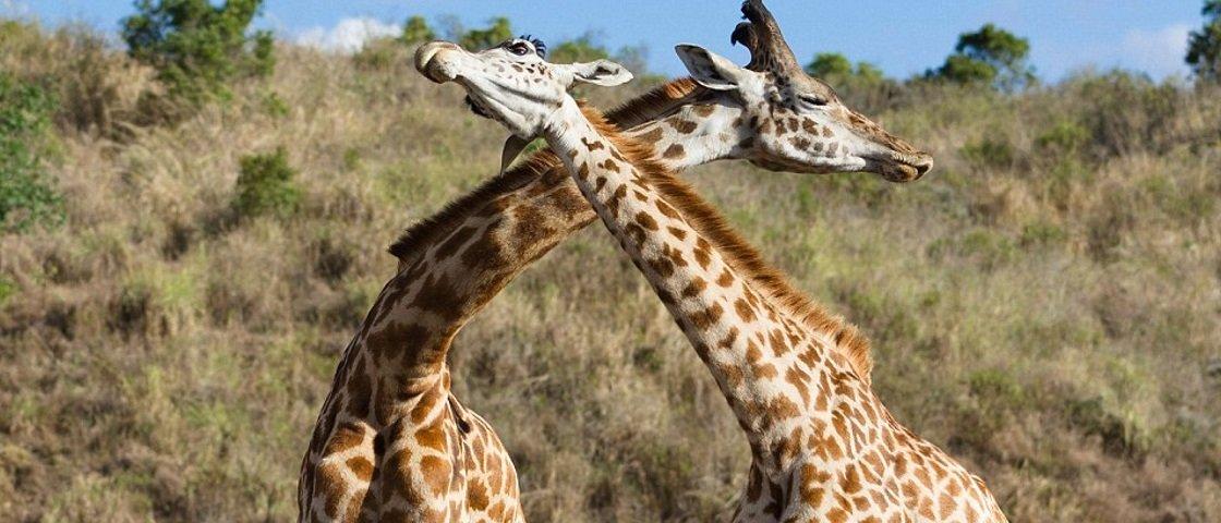Conheça a 'girafa bombada' que está fazendo sucesso na internet