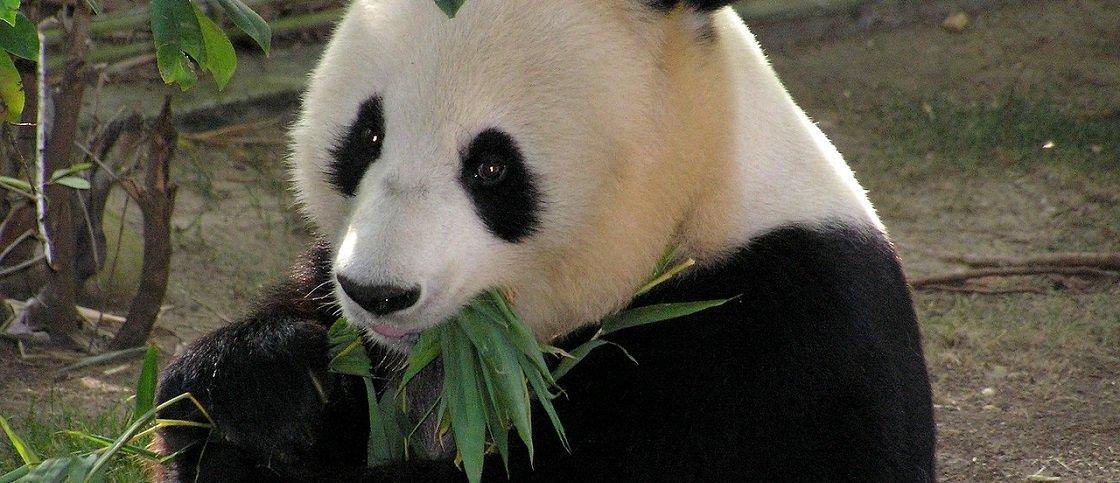 Pandas são muito menos ativos do que outros ursos, diz estudo